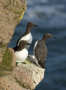 Ledge Framed Prints - Common Guillemots Breeding Framed Print by Duncan Shaw