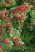 Hawthorn Prints - Common Hawthorn (crataegus Monogyna) Print by Adrian Bicker