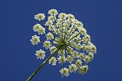 Umbel Prints - Common Hogweed (heracleum Sphondylium) Print by Chris Hellier