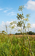 Natuur Photos - Common Hogweed in a sunny field by Ruud Morijn