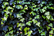 Close-up Art - Common ivy by Fabrizio Troiani