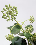 Umbel Prints - Common Ivy (hedera Helix) Flower Buds Print by Sheila Terry