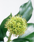 Umbel Prints - Common Ivy (hedera Helix) Flower Head Print by Sheila Terry