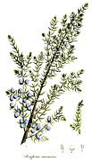 Woodcut Photo Framed Prints - Common Juniper, Alchemy Plant Framed Print by Science Source
