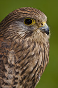 Gabor Pozsgai Metal Prints - Common Kestrel Falco tinnunculus Metal Print by Gabor Pozsgai