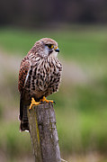 Pete Reynolds - Common Kestrel