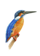 Kingfisher Drawings Framed Prints - Common Kingfisher Framed Print by Lionel Portier