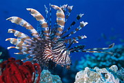 Lionfish Framed Prints - Common Lionfish Framed Print by Franco Banfi and Photo Researchers
