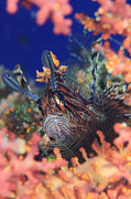 Reef Fish Posters - Common Lionfish Resting Amongst Coral Poster by Steve Jones