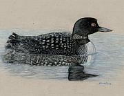 Waterfowl Drawings Framed Prints - Common Loon Framed Print by Cynthia  Lanka