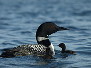 Minnesota Twins Photos - Common Loon Family by Melissa Peterson