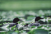 Three-quarter Length Prints - Common Loon Gavia Immer Mated Couple Print by Michael Quinton