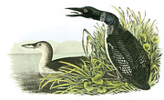 Loon Paintings - Common Loon by John James Audubon