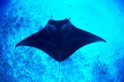 Elasmobranch Prints - Common Manta Ray Print by Dave Fleetham - Printscapes