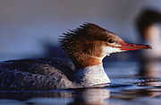 Duck Couple Posters - Common Merganser Female Portrait North Poster by Tim Fitzharris