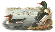 Ducks Paintings - Common Merganser by John James Audubon
