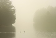 Reservoir Prints - Common Mergansers in Morning Fog Print by John Burk