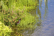 Wildlife Genre Prints - Common Moorhen At The Waters Edge Print by Roena King