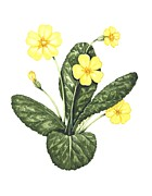 Yellow Primrose Framed Prints - Common Primrose, Artwork Framed Print by Lizzie Harper