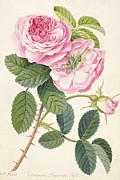 Pink Flower Branch Paintings - Common Provence Rose by Georg Dionysius Ehret