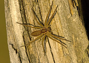 Spider Rock Framed Prints - Common Raft Spider Framed Print by Bob Gibbons