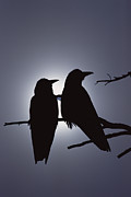 Corax Prints - Common Raven Corvus Corax Pair Perching Print by Michael Quinton