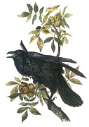 North American Wildlife Posters - Common Raven Poster by John James Audubon