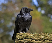 Corvus Framed Prints - Common Raven Framed Print by Linda Wright