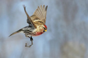 Colorfull Photos - Common Redpoll in flight by Mircea Costina Photography