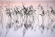 Haukkajrvi Framed Prints - Common reeds Framed Print by Jouko Lehto