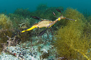 Seadragon Framed Prints - Common Sea Dragon Framed Print by Matthew Oldfield