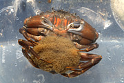 Crustacean Art - Common Shore Crab Carrying Eggs by Dr Keith Wheeler