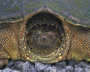 Turtle Shell Framed Prints - Common Snapping Turtle Framed Print by Tony Beck