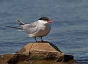 Tern Framed Prints - Common Tern... Framed Print by Nina Stavlund