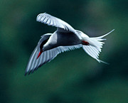 Kodiak Prints - Common Tern Print by Tim Rayburn