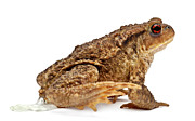 Urinating Framed Prints - Common Toad - Bufo Bufo Framed Print by Life On White