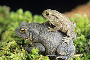 Toads Framed Prints - Common Toads Mating Framed Print by David Aubrey