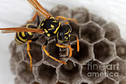 On Paper Photos - Common Wasp by Ted Kinsman