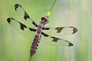 Dragonfly Prints - Common Whitetail Print by Jeremy Martin