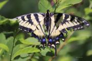 Deborah Benoit - Common Yellow Swallowtail