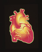 Heart Healthy Metal Prints - Computer Artwork Of A Healthy Human Heart Metal Print by Pasieka