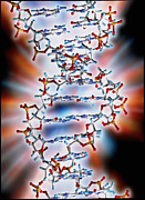 Molecular Graphic Photos - Computer Graphic Of A Segment Of Beta Dna by Pasieka