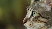 Staring Cat Photos - Concentration by Copyright Faraaz Abdool/Hector de Corazón