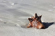 Conch Photos - Conch on Beach by Sophie Vigneault