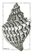 Pen  Drawings - Conch Shell 2 by Stephanie Troxell