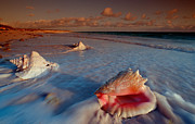 Place Of Interest Posters - Conch Shell on Beach Poster by Novastock and Photo Researchers