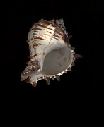 Scanart Prints - Conch Shell Print by Suzanne Gaff