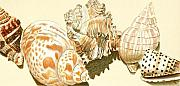 Shell Drawings - Conch Shells by Glenda Zuckerman