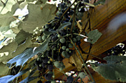 Concord Grapes Metal Prints - Concord Grapes Metal Print by Heather Grow