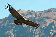 Arequipa Prints - Condor In Flight Print by Photography by Jessie Reeder
